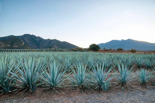 Paisaja Agavero, Siembra de tequila, tierra del tequila