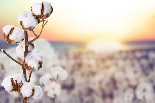 Beautiful fluffy cotton flowers and blurred view of field on background, space for text
