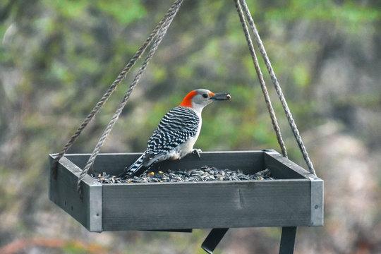 Red-bellied woodpecker in a bird feeder