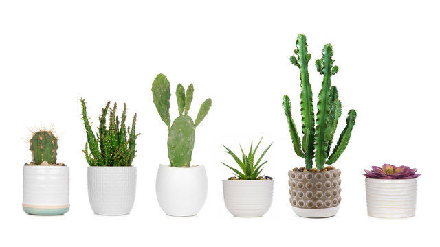Group of various indoor cacti and succulent plants in pots isolated on a white background