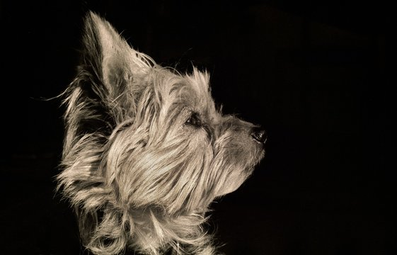 Greyscale picture of a Yorkshire Terrier against a black background