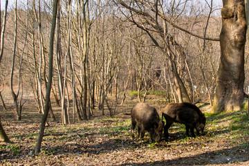 Dziki w lesie na Babich Dołach