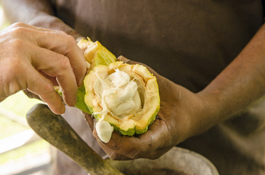 Fresh Cocoa beans being eaten from a pod