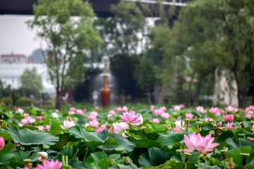 Stores photo Nénuphars Lotus Water Lilies Blooming At Semiwon Park