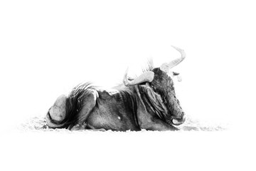 Fotomurales - Wildebeest, black and white African art. Blue wildebeest, Connochaetes taurinus, on the meadow, big animal in the nature habitat in Botswana, Africa. Wild bull with horns.