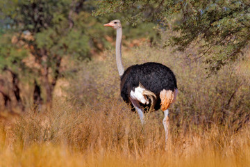 Fotomurales - Common ostrich, Struthio camelus, big bird feeding green grass in savannah, Namibia, South Africa. Ostrich in nature habitat, wildlife Africa. Bird with long neck and small head.