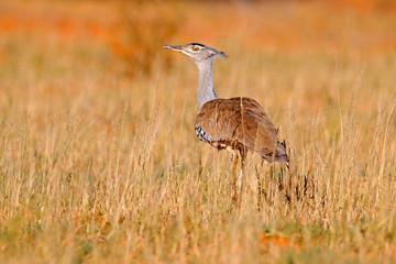 Fotomurales - Kori bustard, Ardeotis kori, largest flying bird native to Africa. Bird in the grass, evening light, Kgalagadi desert, Botswana. Wildlife scene from African nature. Red send desert habitat.