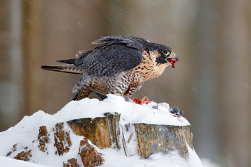 Wall Mural - Peregrine Falcon, bird of prey sitting on the tree stump with catch during winter with snow, Germany. Falcon witch killed dove. Wildlife scene from snowy nature.