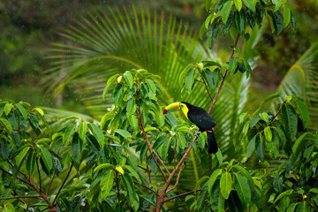 Wall Mural - Tropic forest with exotic bird. Toucan in green trees. Keel-billed Toucan, Ramphastos sulfuratus. Wildlife from Costa Rica.