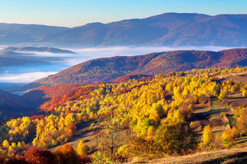 autumn sunrise in mountainous countryside. trees in golden foliage on the meadow in weathered grass. distant valley full of fog.  ridge on the horizon. clouds on the sky in morning light