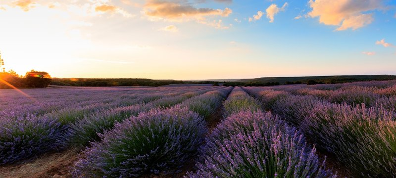 Scenic View Of Lavender Farm Against Sky During Sunset