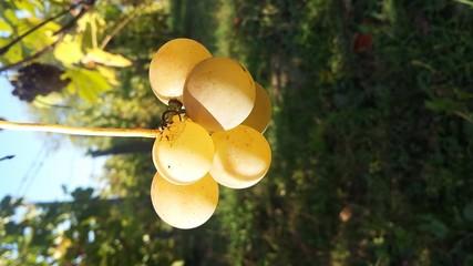 Close-up Of Grape In Vineyard Fototapete