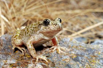 Aluminium Prints Frog Südostiberische Geburtshelferkröte (Alytes dickhilleni) - Betic midwife toadSierra de Cazorla, Spanien / Spain