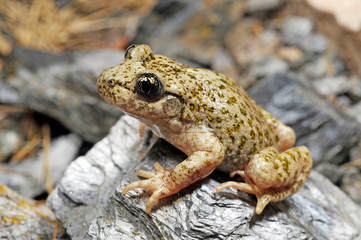 Printed roller blinds Frog Südostiberische Geburtshelferkröte (Alytes dickhilleni) - Betic midwife toadSierra de Cazorla, Spanien / Spain