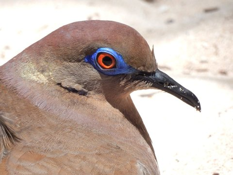 Close-up Of White-winged Dove