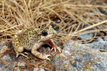 Printed roller blinds Frog Betic midwife toad / Südostiberische Geburtshelferkröte (Alytes dickhilleni) - Sierra de Cazorla, Spain / Spanien