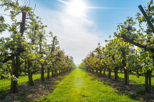 Rows with plum or pear trees with white blossom in springtime in farm orchards, Betuwe, Netherlands