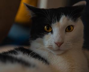 Fototapeta Portret kota o brązowych oczach patrzącego w obiektyw. obraz