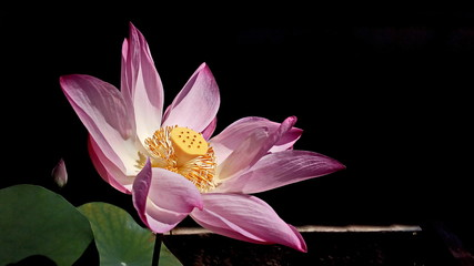 Wall Murals Lotus flower Close-up Of Pink Lotus Water Lily