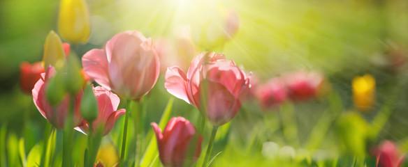 Fotoväggar - rote und gelbe Tulpen in der Vormittagssonne, Panorama