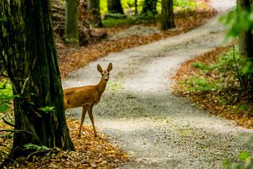 Deer Behind Tree Looking At Camera