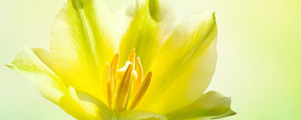 Foto auf Gartenposter Gelb Schwefelsäure makroaufnahme gelbe tulpenblüte