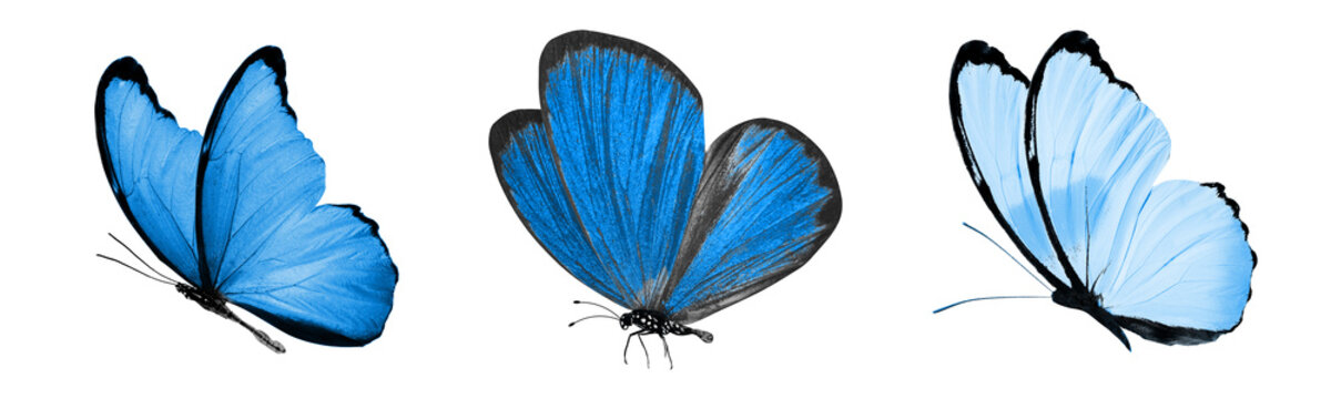 beautiful blue tropical butterflies isolated on a white background. moths for design