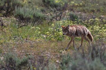 Fototapeta Coyote Walking in a Field