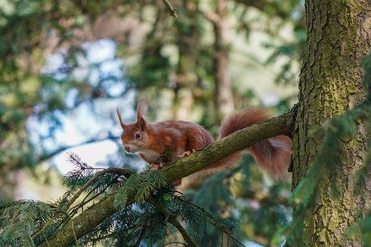 Eichhörnchen auf Waldfriedhof in Darmstadt