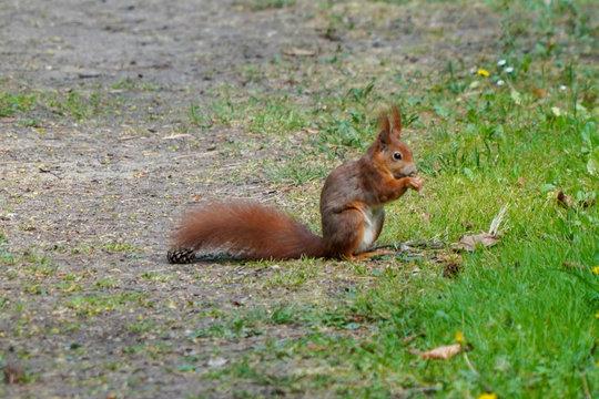 Eichhörnchen frisst