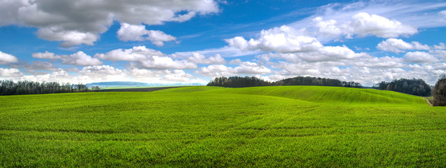 Wall Mural - panoramic view fields winter wheat at hilly terrain in spring with cloudy sky