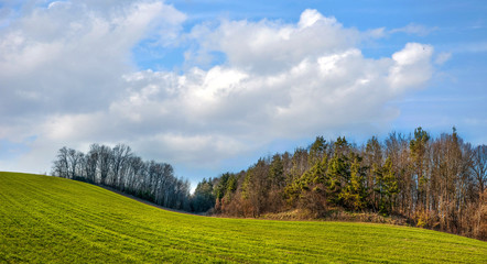 Wall Mural - fields of winter wheat in hilly terrain near pine forest in spring with cloudy skies