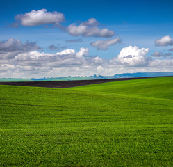 Fototapete - lines of fields with winter wheat in hilly terrain in spring with cloudy sky