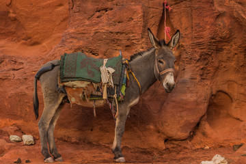 Eastern donkey on a leash animal slave concept photography in Eastern sand stone wilderness Arabian entourage environment background