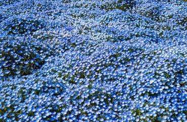 Blue Nemophila flowers in the garden ,Shikoku,Japan