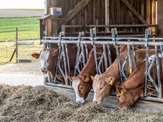 Wall Mural - Kühe fressen Heu im Stall