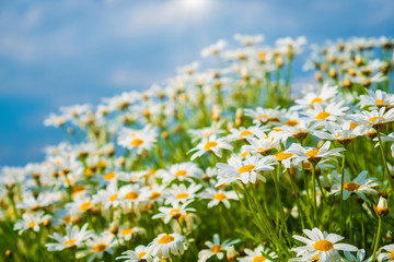 Wall Mural - Beautiful nature background - chamomile flowers over blue sky in morning with light sunshine.