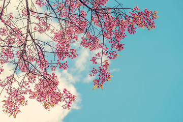 Wall Mural - Beautiful cherry blossom flowers in spring time over blue sky. sakura tree pink flower.