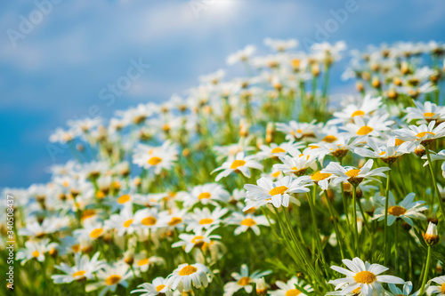 Wall mural Beautiful nature background - chamomile flowers over blue sky in morning with light sunshine.