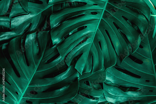 Wall mural closeup nature view of green monstera leaf background. Flat lay, dark nature concept, tropical leaf