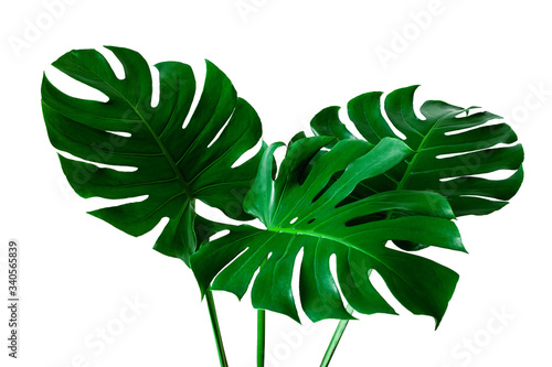 Wall mural Beautiful Tropical Monstera leaf isolated on white background for design elements, Flat lay