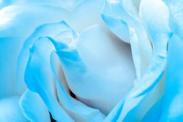Fototapete - Macro of light blue rose