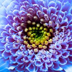 Fototapete - Macro of blue flower aster