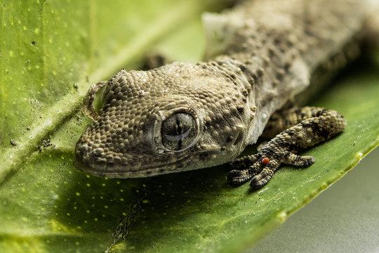 Primo piano di un piccolo geco durante la muta