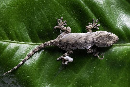 Piccolo geco sopra foglia durante la muta