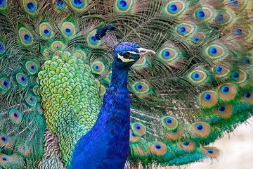 Close-up Of Peacock Fototapete