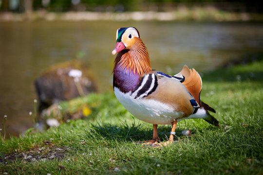 Mandarin duck walking and standing in the meadows on the gras near the pond