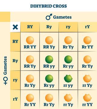 Dihybrid cross vector illustration. Labeled educational genetic table scheme