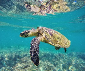Turtle Swimming Undersea
