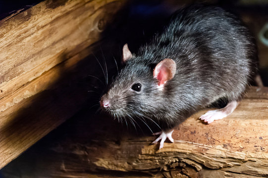 The black rat (Rattus rattus), also known as ship rat, roof rat, or house rat.